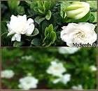 Cape Jasmine Shrub, Gardenia Flower Seeds Fragrant Flower Evergreen A+