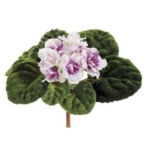 6 African Violet Bush White Lavender (Pack of 6): Home & Kitchen
