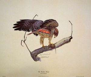 GUY COHELEACH PRIVATE COLLECTION REDTAIL HAWK