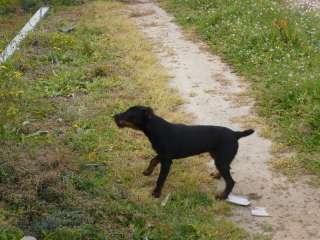 Jagd Terrier da cinghiale a Orosei    Annunci